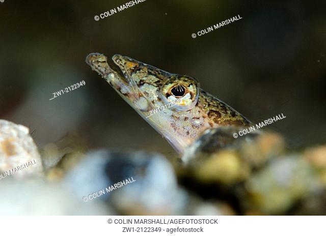 Elegant Sand-Diver (Trichonotus elegans) at Critters@Baengabang dive site in Pantar near Alor in eastern Indonesia