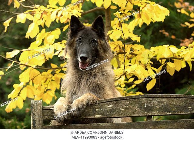 DOG. Tervuren ( Belgium shepherd ) paws over bench, autumn