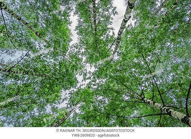 Birch trees Hogland Island, Finland