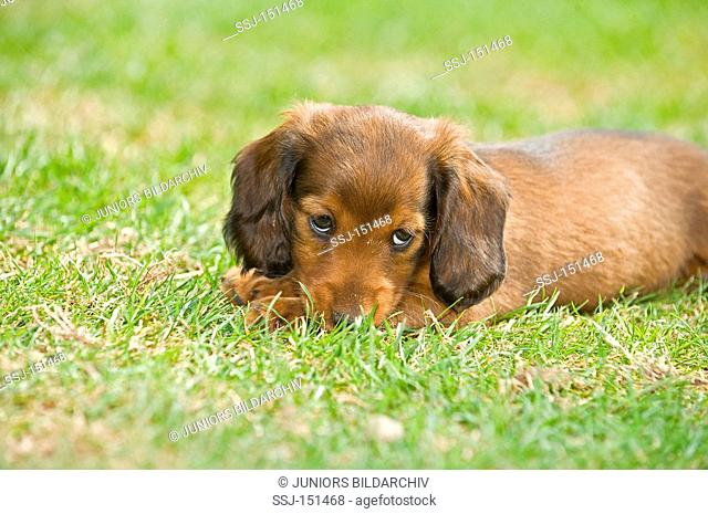 long-haired miniature dachshund dog - puppy lying on meadow restrictions: animal guidebooks, calendars