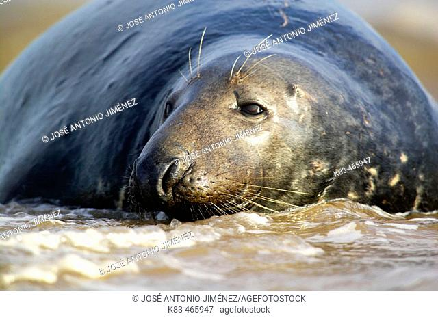 Grey Seal (Halichoerus grypus), Donna Nook National Nature Reserve, England. UK