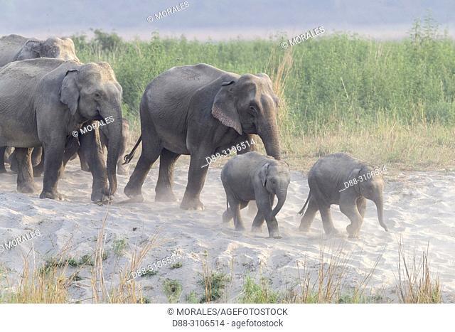 Asia, India, Uttarakhand, Jim Corbett National Park, Asian or Asiatic elephant (Elephas maximus), group in the grassland