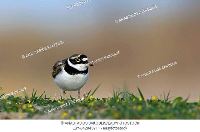Little Ringed Plover - Charadrius dubius, Crete