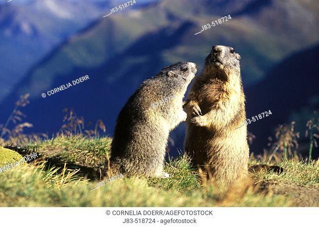 Marmot (Marmota marmota) Nationalpark Hohe Tauern,  Austria