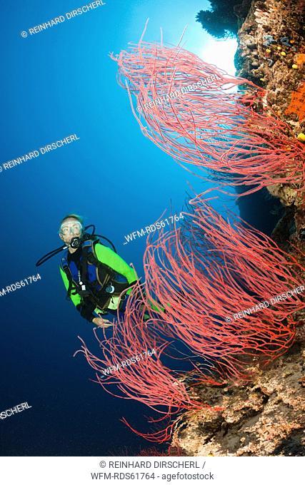 Scuba Diver and red Whip Corals, Ellisella sp., Wakaya, Lomaiviti, Fiji