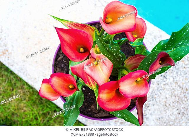 Red Calla Lilies flowers on a flowerpot