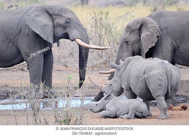 African Elephants, Loxodonta africana, and White rhinoceros, Ceratotherium simum, drinking at the water hole, Kruger National Park, South Africa