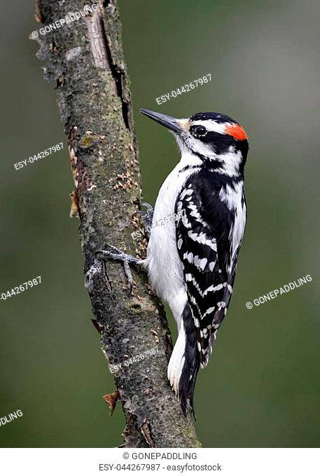 Male Hairy Woodpecker (Leuconotopicus villosus) perched on a tree branch