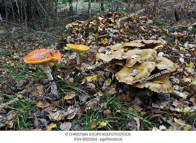 fungus in understory, Forest of Rambouillet, Haute Vallee de Chevreuse Regional Natural Park, Department of Yvelines, Ile de France Region, France, Europe