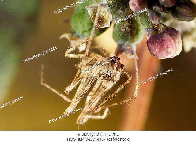 France, Indre, Mimetidae, Pirate Spider (Ero tuberculata), male, 2,5 mm