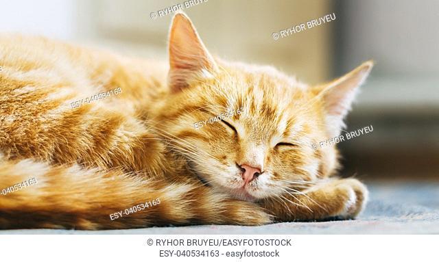 Pretty Cat Sleep. Peaceful Orange Red Tabby Male Kitten Curled Up Sleeping