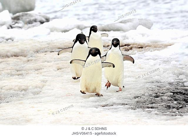 Adelie Penguin, (Pygoscelis adeliae), Antarctica, Half Moon Island, group of adults walking at beach