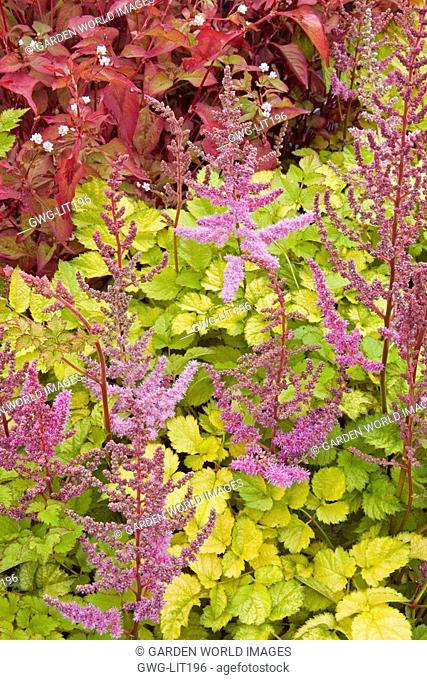 ASTILBE X ARENDSII 'COLORFLASH LIME'