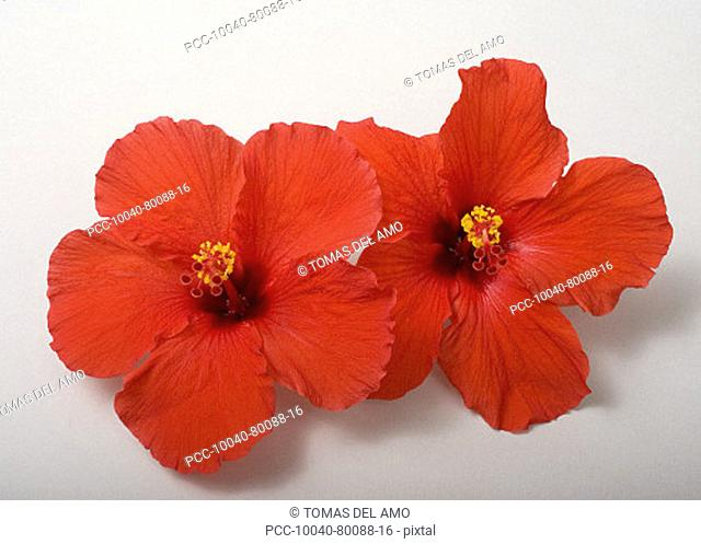 Studio shot of two red hibiscus' on white background