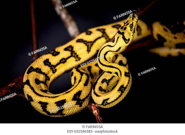 jungle jaguar carpet python Stock Photos and Images