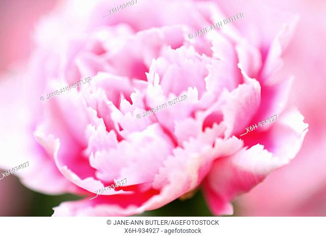 Pink and White Carnation Bloom-fine art photography © Jane-Ann Butler Photography JABP361 RIGHTS MANAGED
