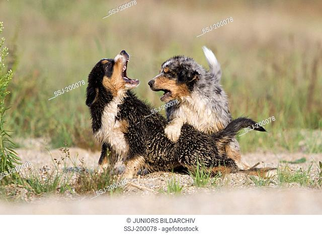 Australian Shepherd (blue merle and black tri). Pair of puppies squabbling at the waters edge. Germany