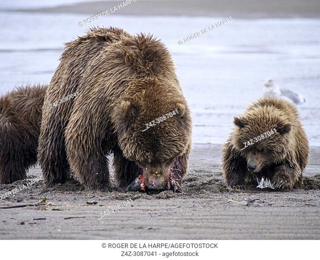Coastal brown bear, also known as Grizzly Bear (Ursus Arctos) female and cubs silver salmon or coho salmon (Oncorhynchus kisutch)