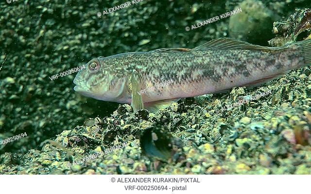 Marine invasive species Round goby (Neogobius melanostomus) lying on a stone and then leaves the frame, medium shot. Black Sea. Ukraine