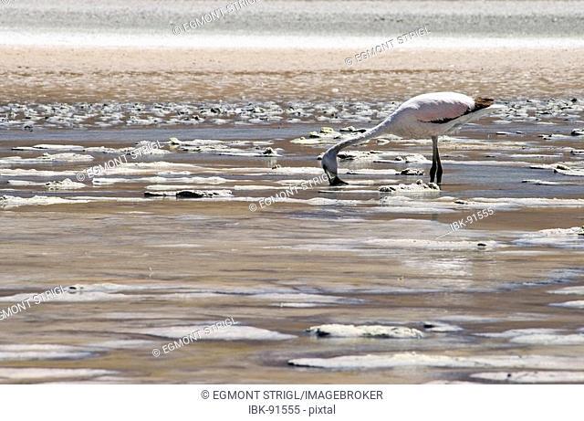Chilean flamingo (lat.: phoenicopterus chilensis) at Laguna Onda, Bolivia