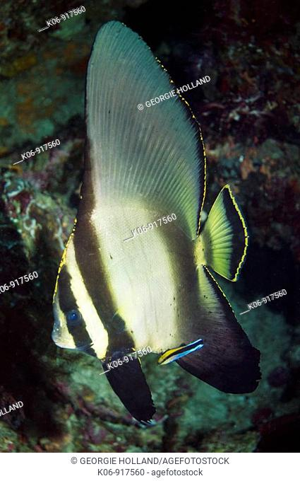 Pinnate spadefish Platax pinnatus, juvenile with Cleaner wrasse Labroides dimidiatus  Indonesia  Digital capture