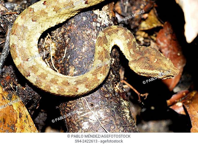 Viper (Viperidae) under a log in Gunung Gading national park, Sarawak, Malaysia, Borneo