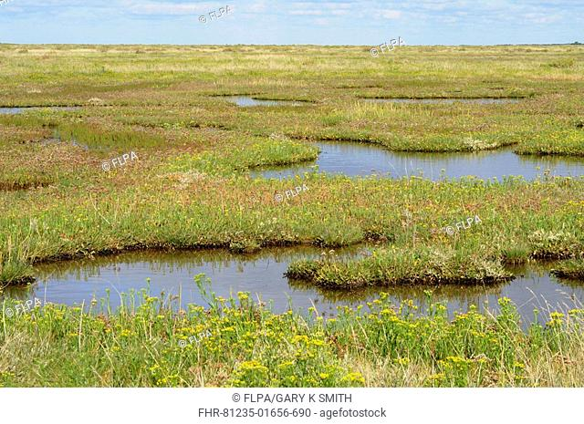 View of tidal saltmarsh, with pools and flowering Sea Aster Aster tripolium var discoidea Norfolk, England, september