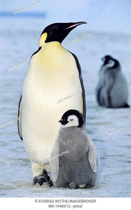 Emperor penguin (Aptenodytes forsteri) with chicks, shelf ice, ice shelf, Weddell Sea, Antarctica