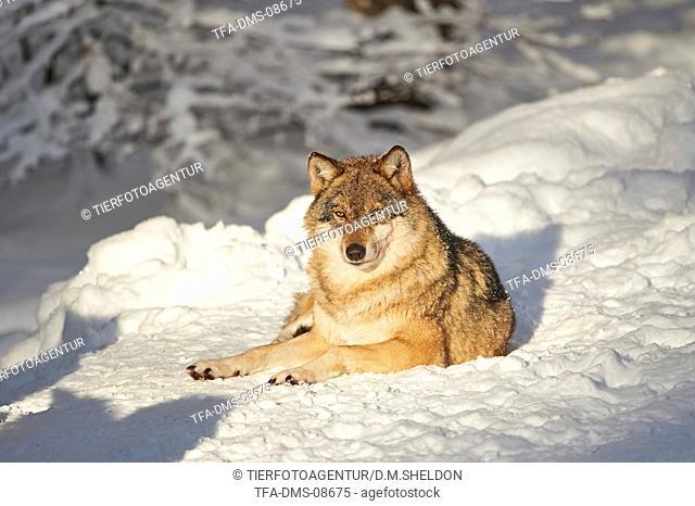 eurasian greywolf