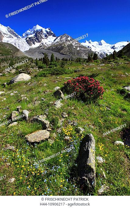 Alps, Alpine rose, alpine rose, mountain, mountain panorama, mountain flowers, mountains, mountain flora, mountain spring, mountain panorama, Bernina, flower