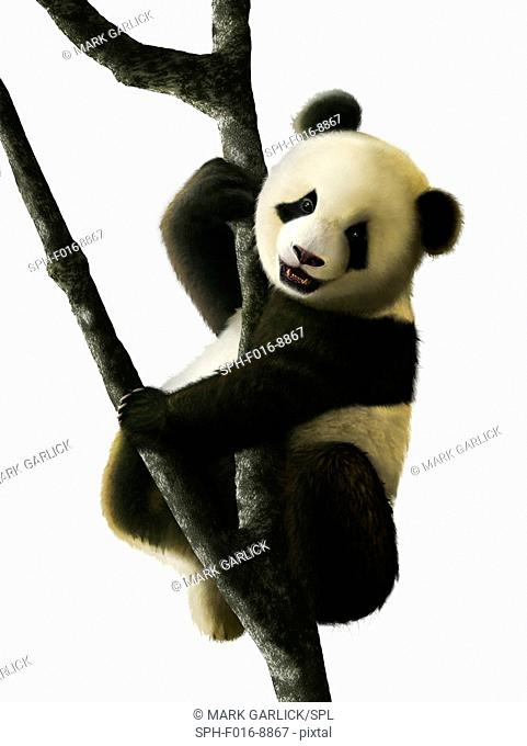 The artwork shows a juvenile Giant Panda (Ailuropoda melanoleuca) sitting in a tree. Giant Pandas are endemic to China and are native to central-western and...