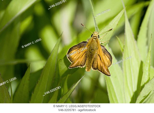 "Small Skipper, Thymelicus sylvestris, an orange butterfly that perches with wings spread. Wingspread: 25â. ""30 mm. Can be confused with Essex Skipper"
