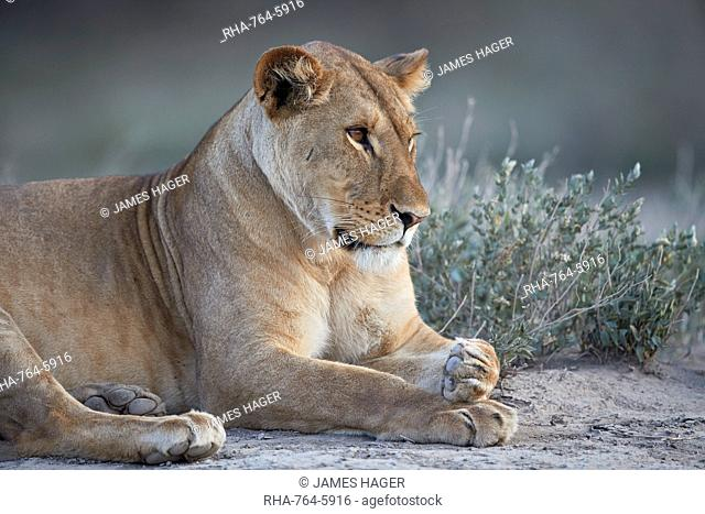 Lioness (Lion) (Panthera leo), Ngorongoro Conservation Area, Tanzania, East Africa, Africa