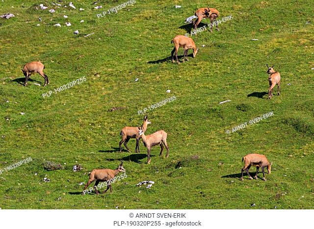 Chamois (Rupicapra rupicapra) herd foraging on mountain meadow / Alpine pasture in summer in the European Alps