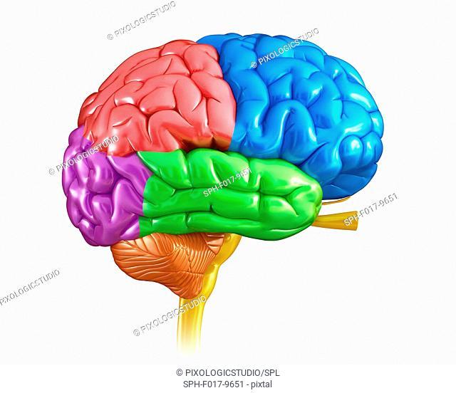 Illustration of human brain regions