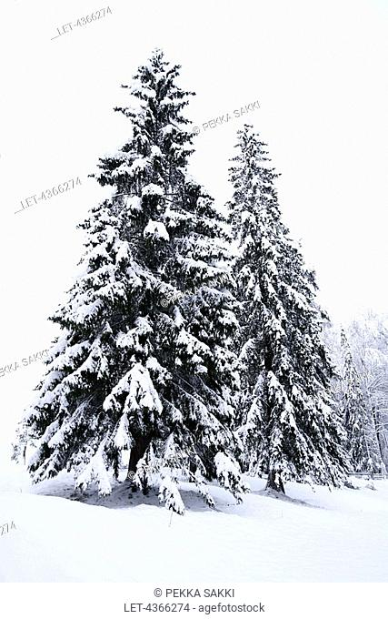 Snow covered spruces, Southern Finland