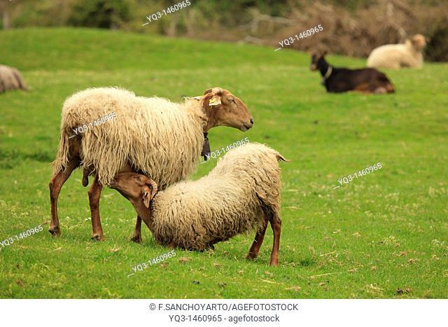 Lamb suckling