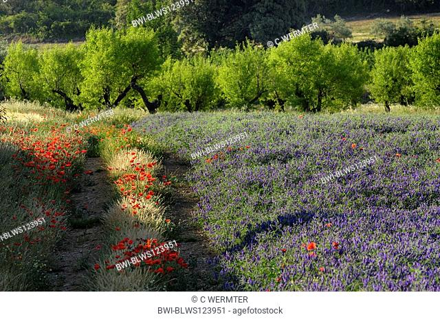 common poppy, corn poppy, red poppy Papaver rhoeas, blooming plants together with hairy vetch on abandoned farmland, Spain