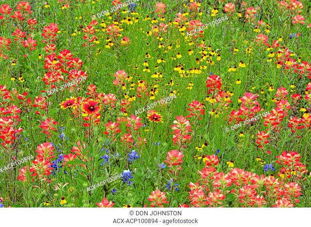Roadside wildflowers along Segura Lane featuring paintbrush, brown bitterweed and firewheel, Llano County, Texas, USA