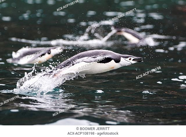 A Chinstrap Penguin (Pygoscelis antarctica) explodes out of the water while swimming in waters near Brown Bluff, Antarctic Peninsula