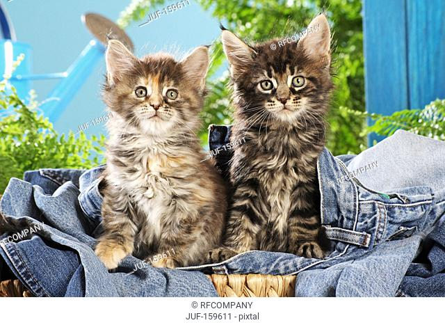 Maine Coon cat - two kittens on a jeans