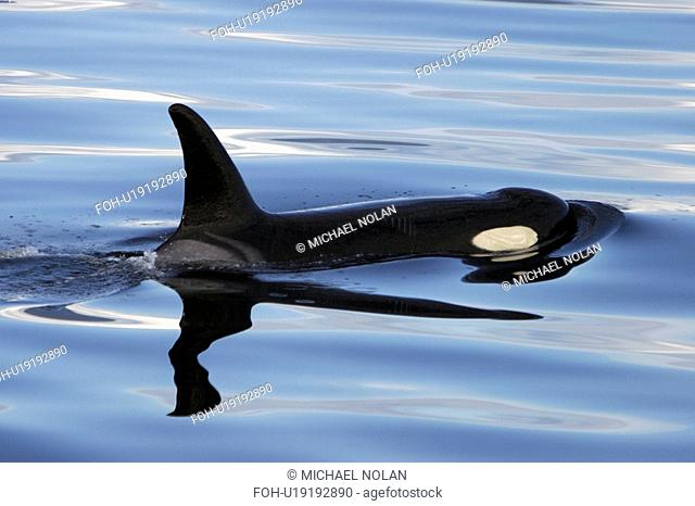 Orca Orcinus orca surfacing Chatham Strait, southeast Alaska, USA