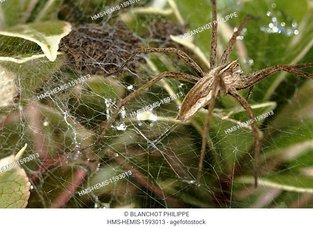 France, Araneae, Pisauridae, Nursery web spider (Pisaura mirabilis), female protecting its babies on the nursery web