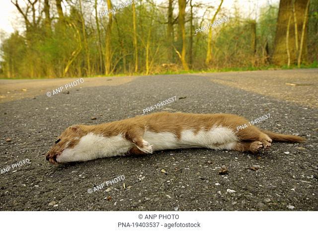 Weasel Mustela nivalis - Lommel, Campine, Limburg, Flanders, Belgium, Europe
