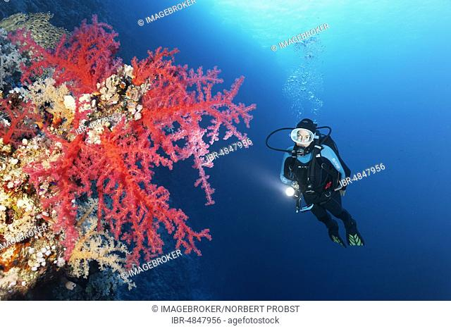 Diver with lamp looking at Klunzinger's Soft Corals (Dendronephthya klunzingeri) at steep wall of coral reef, Red Sea, Egypt, Africa