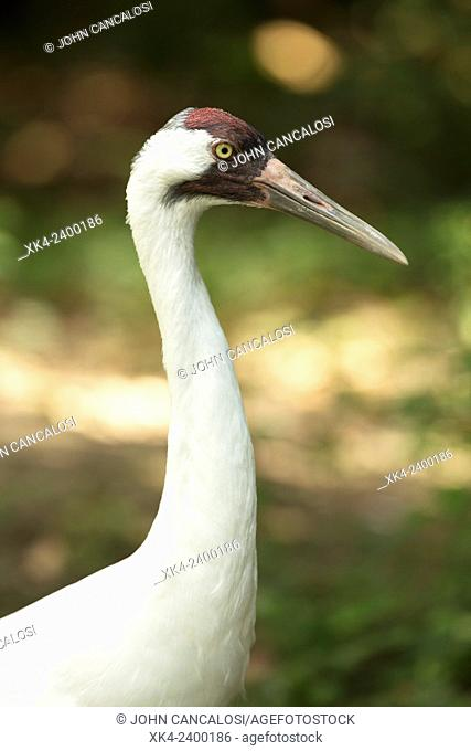 Whooping Crane (Grus americana), endangered species, captive