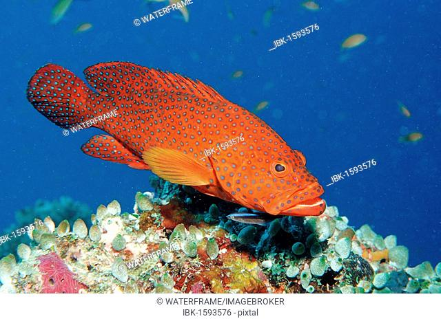 Vermillion Seabass or Coral Hind (Cephalopholis miniata), Maldive Islands, Indian Ocean