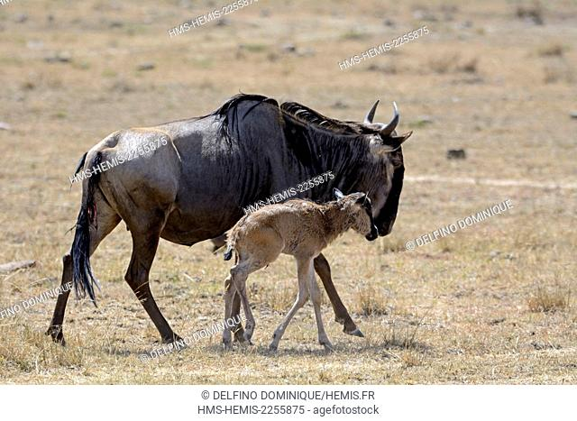 Kenya, Masai Mara Reserve, Wildebeest (Connochaetes) migrating and her young in the bush