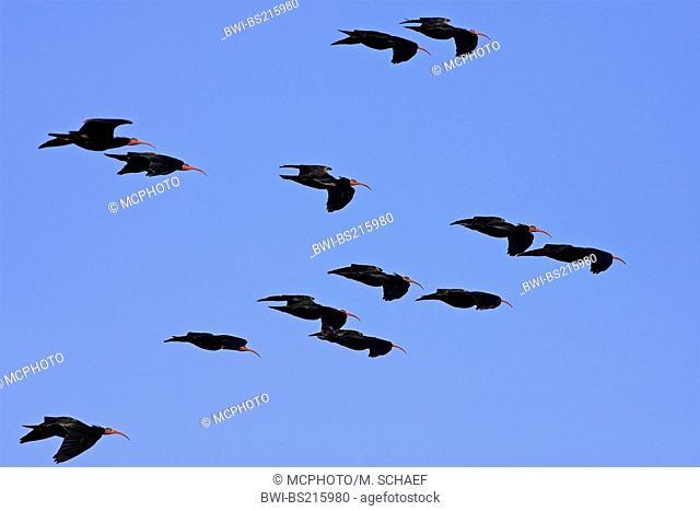 hermit ibis (Geronticus eremita), group flying, Morocco