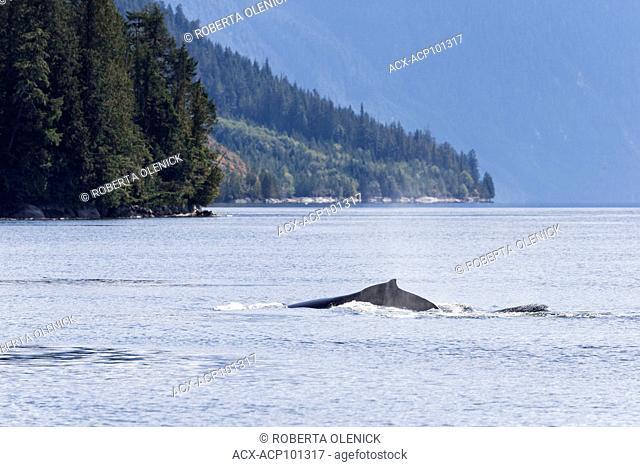 Humpback whale (Megaptera novaeangliae), northern British Columbia, Canada